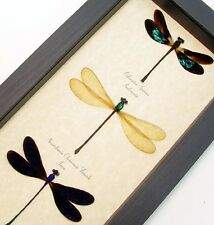 Real Framed Colorful Damselfly Set of 3 Collection  8202