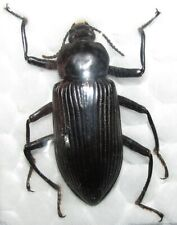 E TENEBRIONIDAE  Nyctobates gigas FROM MEXICO 39mm