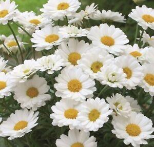 6 Argyranthemum  White  Daisy Marguerite Basket Patio Plug Plants