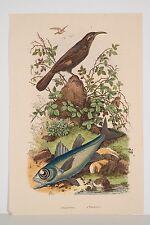 Gravure Aquarellée 1839 Oiseau Poisson Pomathorin Pomatome Histoire Naturelle