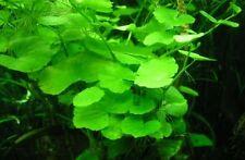 Hydrocotyle leucocephala  plante aquarium discus  ou bassin facile