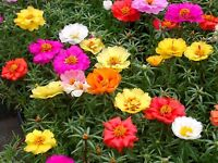 Fairy Flower Seeds Portulaca Extra Double Mixed Approx. 500 seeds