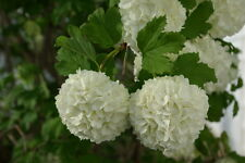 Common Snowball Bush - White Flowering Live Shrub Bush - 1 Plant in 1 Gallon Pot
