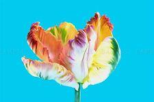 PHOTO COMPOSITION NATURE FLOWER PLANT COLOUR TINT TULIP COOL POSTER BMP10311