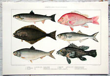 Julius Bien 1902 Chromolithograph (XXXV) American Food-Fishes