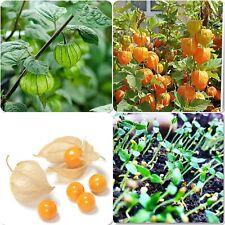 100+ Organic Cape Goosberry Seeds (physios peruviana) Inca Golden Berry rare