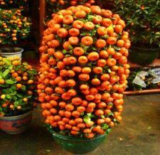 10 Seed Mandarin Orange Dwarf Bonsai Indoors Outdoors Fruit Tree