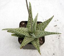 "Aloe ""White Diamond"" (= Aloe ""Quicksilver"")"