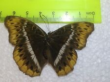TOG09 A+/ A  Nymphalidae Cymothoe egesta FEMALE Forester Papilio