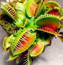 100 Venus Flytrap Plant Seeds Rare 15 Kinds Dionaea muscipula Flycatcher Garden