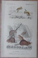 Orbigny: Jumping Mice, Beaver, Castor fiber - 1849