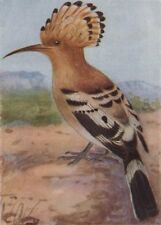 INDIAN BIRDS. The Hoopoe 1943 old vintage print picture