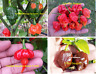 World's Official 4 Hottest Chilli Pepper Collection - 40+ Australian Grown Seeds