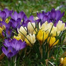 "BUY NOW!  100 ""Mixed Crocus"" Large Flowering Crocus Spring Flowering Bulbs"