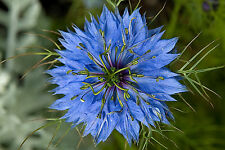 Echter Schwarzkümmel 3000 Samen Nigella Sativa Heilpflanze