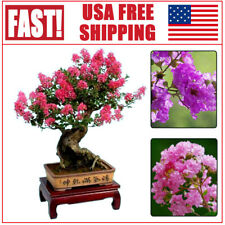 100PCS Lagerstroemia Indica Seeds Crape Myrtle Bonsai Courtyard Ornamental Plant