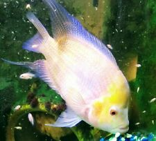 Live Aquarium Flowerhorn Fish for sale | eBay