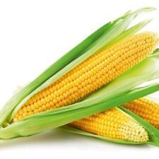 New Sweet Yellow Corn 50 Seeds Organic Heirloom Vegetable Seed Hot Sale /