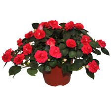 Garden Easy Growing Red Impatiens Balsam Seeds  - Heirloom Plant