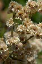 100 White Sweet Everlasting Gnaphalium Obtusifolium Butterfly Flower Herb Seeds