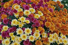 Chrysanthemum single mixed Flower - 30 Seeds
