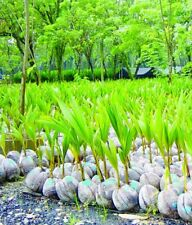 3x Sprouted Coconut palms.  (organic tree plants landscape nursery fruit