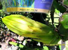 Exotic Cactus Edible Dragon Fruit Pitahaya EXTRA  Large Cuttings 60-70cm 2528
