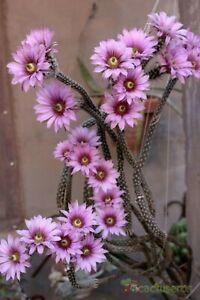 Echinocereus Poselgeri - Dahlia Cactus - Amazing Pink Flowers - 10 Seeds