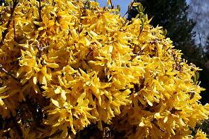 Forsythie 'Spectabilis' Goldglöckchen 100-150 cm  7,5 Liter Container Forsytia