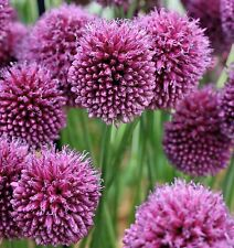 ALLIUM SPHAEROCEPHALON 20 BULBS STUNNING SPRING/SUMMER FLOWERS BEES LOVE THEM