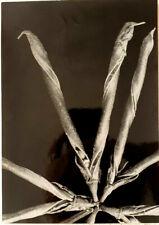 R.H. Noailles Photographer, Lotus Corniculatus, Vintage Photo, USA, 1932