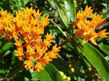 20+ MILKWEED WILD ORANGE FLOWER SEEDS / PERENNIAL/ DEER RESISTANT/ BUTTERFLY