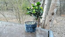 Pre Bonsai Ficus microcarpa/Compacta (Green Island Ficus) healthy, no1