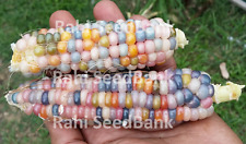 Corn Glass Gem Mahi - A Stunning Multicoloured Colored Glass Gem Corn Variety!
