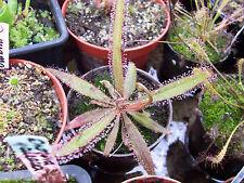 Lance-leaved sundew Drosera adelae carnivorous living plant