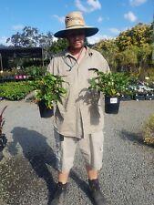 SALE $7.70   Philodendron xanadu  PLANT  GOLD COAST NURSERY OVERSTOCKED