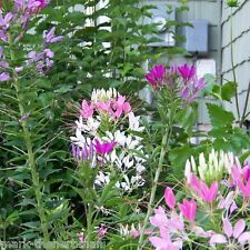 Cleome Fountain Mix, 100 seeds, Attractive flower display