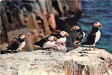 BF40127 puffin macareux uk    bird oiseau