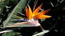 STRELITZIA REGINAE 10 semi seeds Uccello del Paradiso Bird of paradise