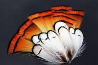 50 pcs White Golden Natural Color Pheasant Head Crest Feather Fly Tying Material
