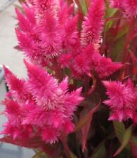 200 seeds Celosia Spicata Atomin Pink flower Annual organic +gift