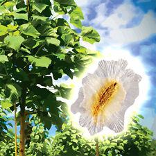 Blauglockenbaum Paulownia Shan Tong * 20 Samen * frostfest bis -23°C * Selten!