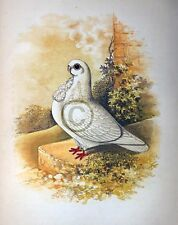 """Fancy Pigeon """" THE AFRICAN OWL """" By James C. Lyell Poster Art 13"""" X 19"""""""