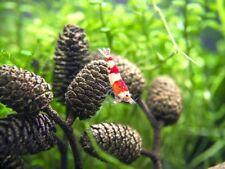 New listing 200pcs Alder Cones Freshwater Aquarium Shrimp Food Crayfish