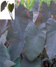 Colocasia plant Black Magic elephant ear NEW
