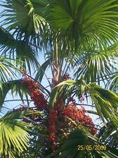 Livistona rotundifolia, ombrello Palma, 10 semi