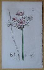 Sowerby: Flowering Rush Butomus umbellatus * - 1790