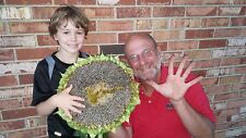 TITAN SUNFLOWER / TRUE GIANTS IN THE SUNFLOWER WORLD / TALL PLANTS & LARGE HEADS
