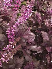 Organic Herb - Basil - Red - 10g Seeds - Bulk Packet