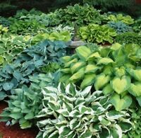 Mixed Hosta Seeds! large variety mix! Plantain Lily, Hardy! shade/japanese style